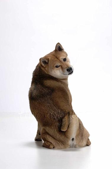 柴犬 0028 S maruyama のコピー
