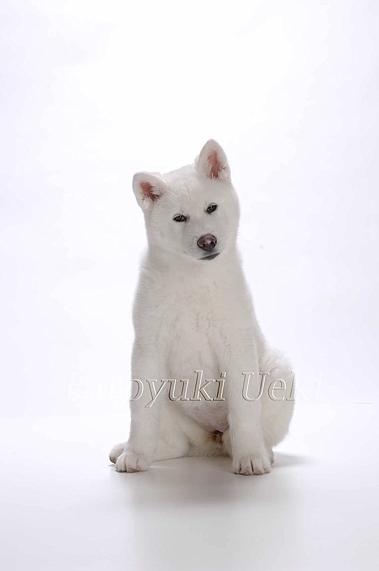 秋田犬 0009 S ohashi  のコピー