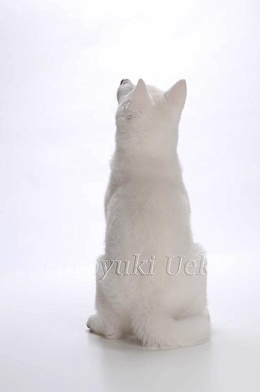 秋田犬 0020 S ohashi  のコピー