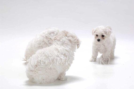 DBIF 054 SD ueki sakai ビション・フリーゼ 親・子犬  のコピー