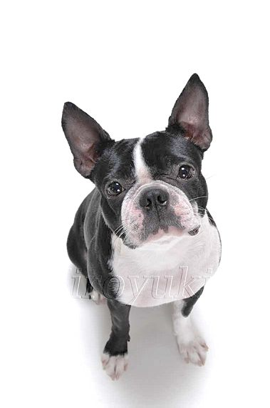DBTE 036 SD ueki sakai ボストン・テリア成犬  のコピー