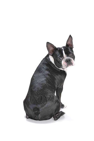 DBTE 051 SD ueki sakai ボストン・テリア成犬  のコピー