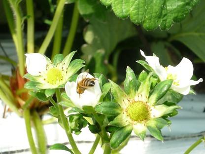 苺の花とミツバチ