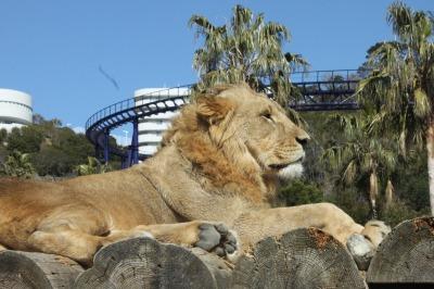 若ライオン