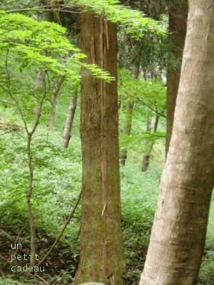雷が落ちた杉の木。
