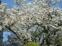 実家の桜も*