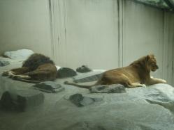 ライオン王子zoo