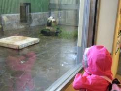 雨のパンダ