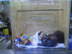オランウータンの赤ちゃん