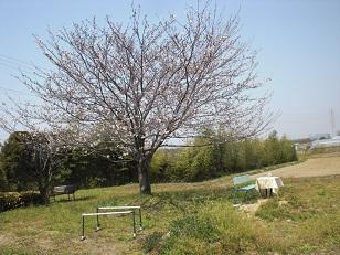 sakura1_20110410212742.jpg