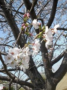 sakura2_20110410212741.jpg