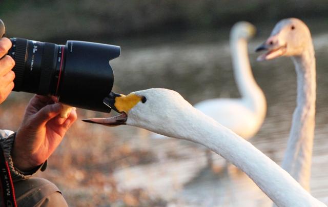 白鳥カメラ