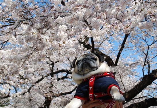 カメラを忘れたので、桜チッチ使用^^;