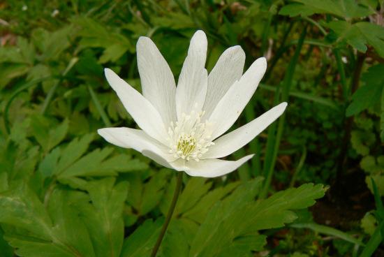 110423 キクザキイチゲ白花