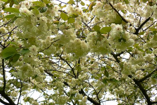 110515 黄色い桜5