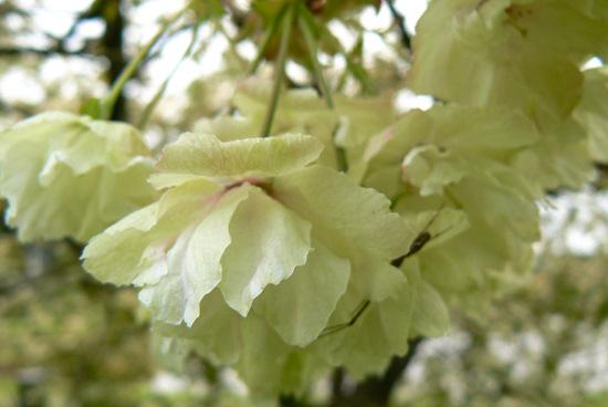 110515 黄色い桜4