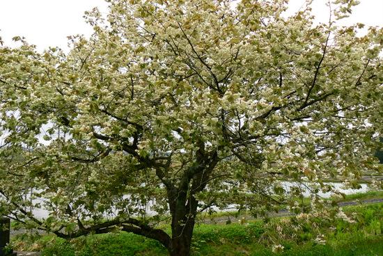 110515 黄色い桜1