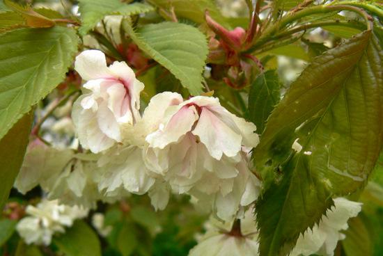 110515 黄色い桜2