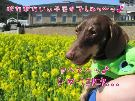 菜の花2-1