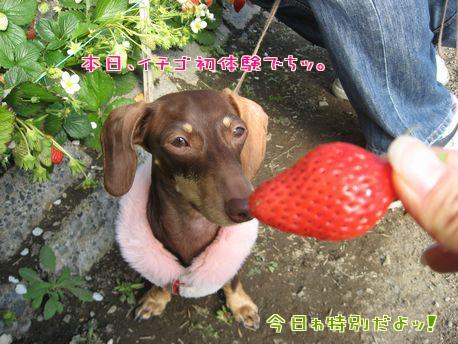 イチゴ狩り1