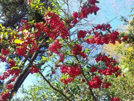 S20121216 片桐先生のセミナー公園の赤い実
