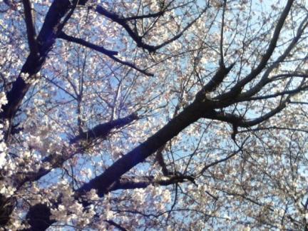s220130321桜ケ丘幼稚園の桜