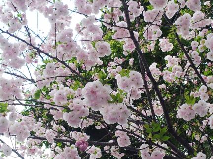 S20130405 広尾の八重桜