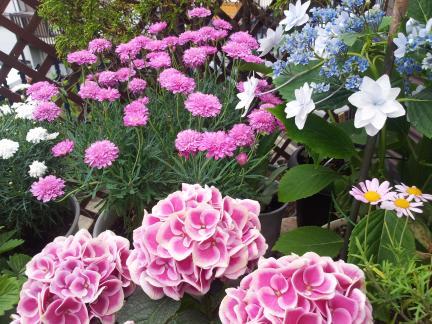 s20130528テラス紫陽花とピンクの花達