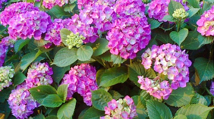 丸の内紫陽花