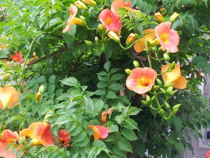 S20130625鶴見への途中の花