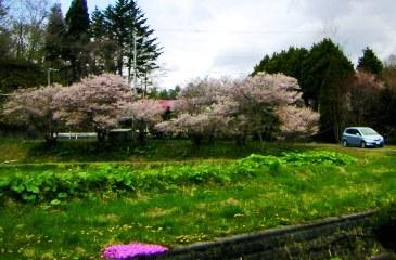 2011-05-17sakura.jpg
