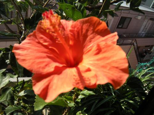 狂い咲きハイビスカス