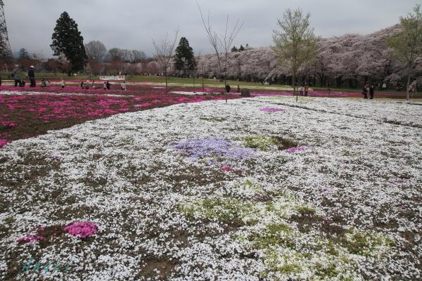 赤城山南面千本桜