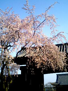 ご近所の桜 妙顕寺