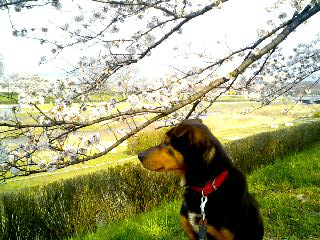 ご近所の桜 鴨川