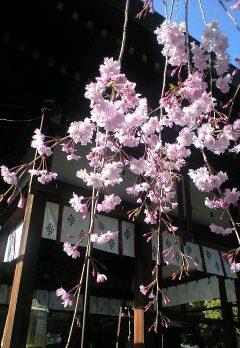 上御霊神社のしだれ桜