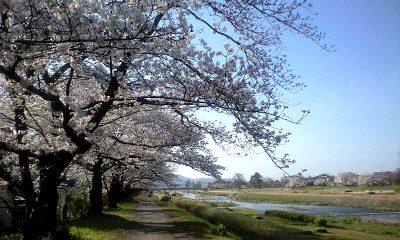 桜の散歩道 2010②
