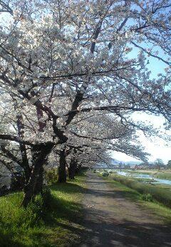 桜の散歩道 2010