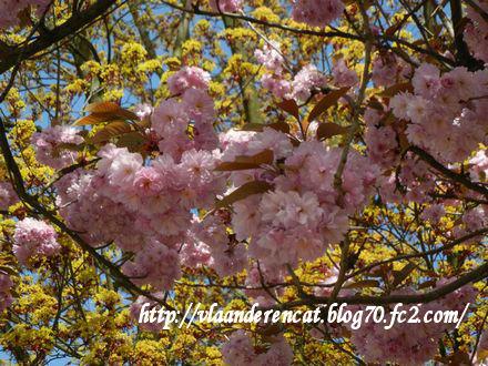 日本の桜を思い出します。