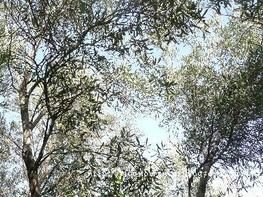今では懐かしい木々