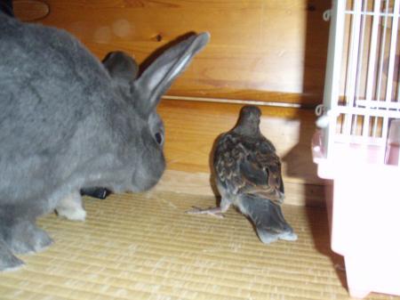 ハトに興味津津のウサギ
