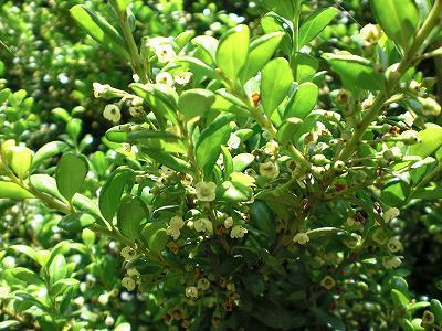 タマツゲ 花(モチノキ科)