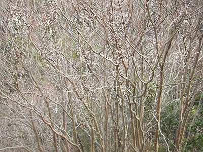 リョウブ 樹形