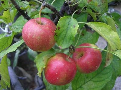 リンゴ 実(アルプス乙女)