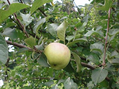 リンゴ 実(バラ科)