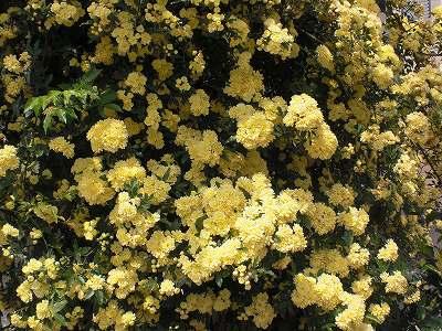 バラ(キモッコウバラ)花