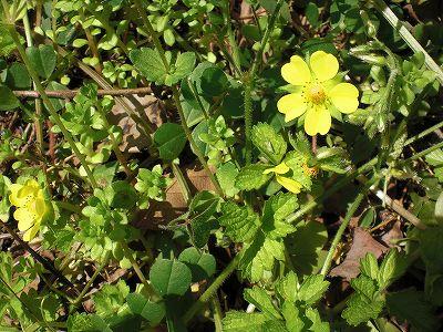 ヤブヘビイチゴ(花)CIMG4178