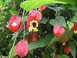 アブチロン 花