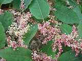 イタドリ赤花CIMG7950