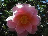 サザンカ・春咲き110405b 025